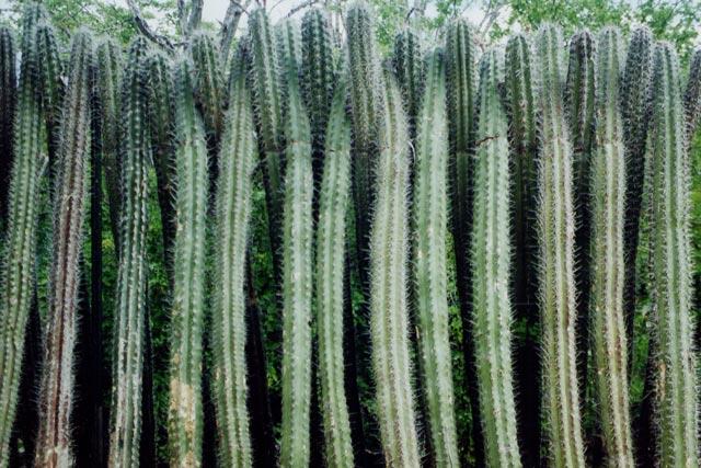 cactushaag